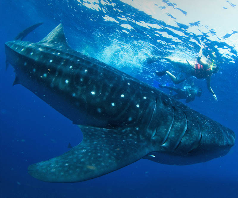 Swim-with-the-whalesharks-2