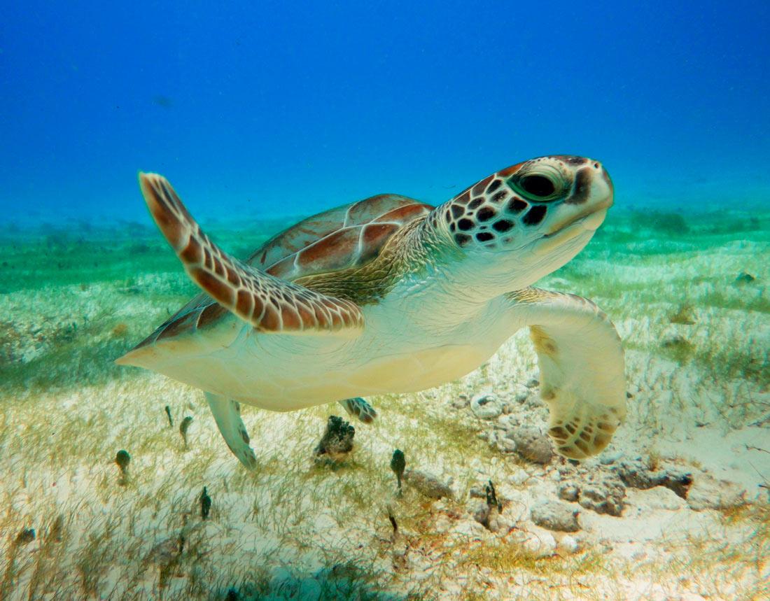Turtle-Snorkeling-in-Akumal-1